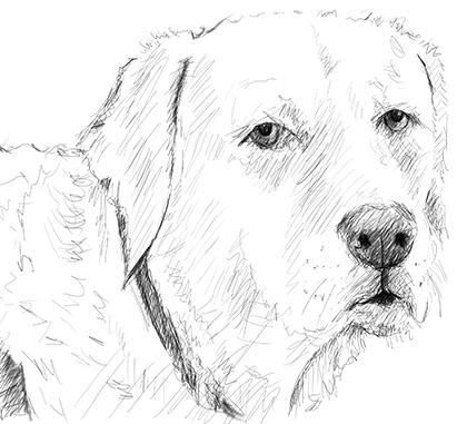 Hundeskizze- Labrador